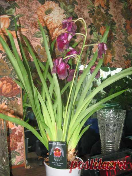 Мильтония или мильтониопсис - какой уход в домашних условиях спасет орхидею от гибели