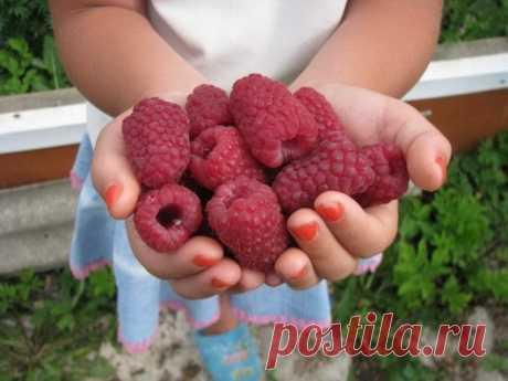 Лучшие сорта сладкой малины для Урала и Сибири   ДомСадовника