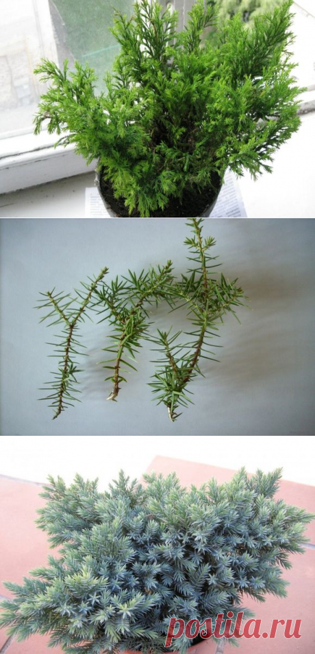 Размножение и выращивание комнатного можжевельника в домашних условиях