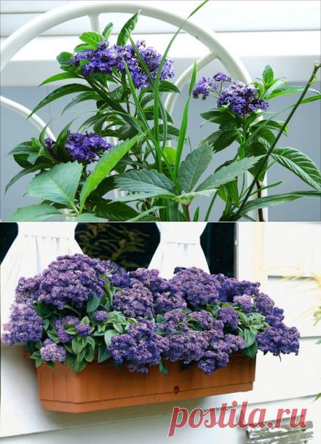 Как ухаживать за цветком гелиотроп в домашних условиях