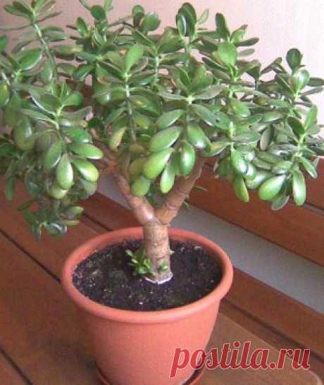 Денежное дерево: лечебные свойства