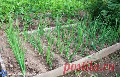 Четкая инструкция - как сажать лук весной на головку   Красивый Дом и Сад