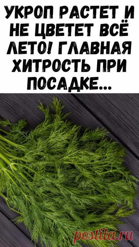 Укроп растет и не цветет всё лето! Главная хитрость при посадке…
