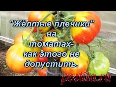 """""""Жёлтые плечики"""" на плодах томатов- у нас их нет, потому что..."""