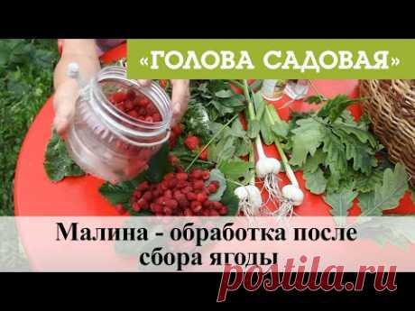 Голова садовая - Малина - обработка после сбора ягоды