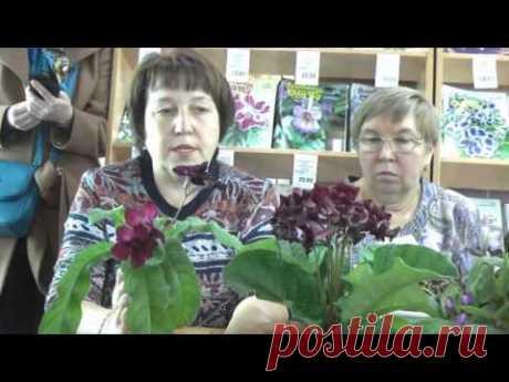 ДФ.Стрептокарпусы зимой. Е.Павлова
