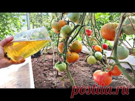 От йода томаты очень быстро покраснеют! Проверяла 100 раз! В августе брызгаю и поливаю йодом так!