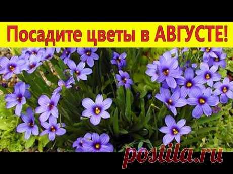 Посадите эти цветы в АВГУСТЕ! Они порадуют красивым цветением в следующем году в саду.