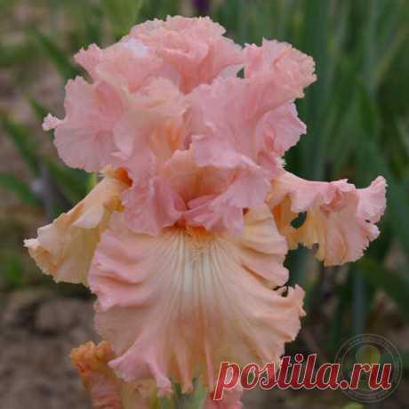Ирис Брокен Дримс (Iris Broken Dreams) Цветки сильно гофрированные и слегка кружевные. Стандарты розовые. Стайлы персиковые. Фолы персиковые с жёлтым оттенком в основании. У большинства цветков на фолах имеются белые сегменты, которые могут занимать половину фолов. Даже бородка и стайл...