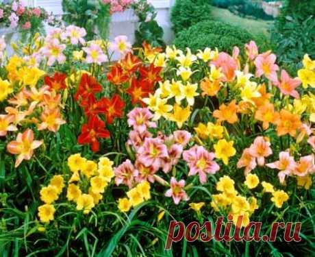 Лилейники: посадка и уход  Этот красивый цветок может, поистине, стать жемчужиной вашего сада. Их достаточно крупные красивые цветы будут радовать вас на протяжении всего лета. А это довольно редкое явление, когда цветок цветет около 2-2,5 месяцев. Лилейники как раз из таких. Кроме того эти растения обладают еще и декоративными листьями, которые отлично вписываются в букетную композицию. Показать полностью…