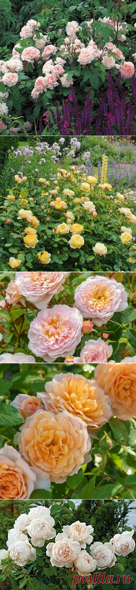 Пионовидные розы Дэвида Остина. Подборка очень красивых зимостойких сортов. | Растения от Катерины | Яндекс Дзен