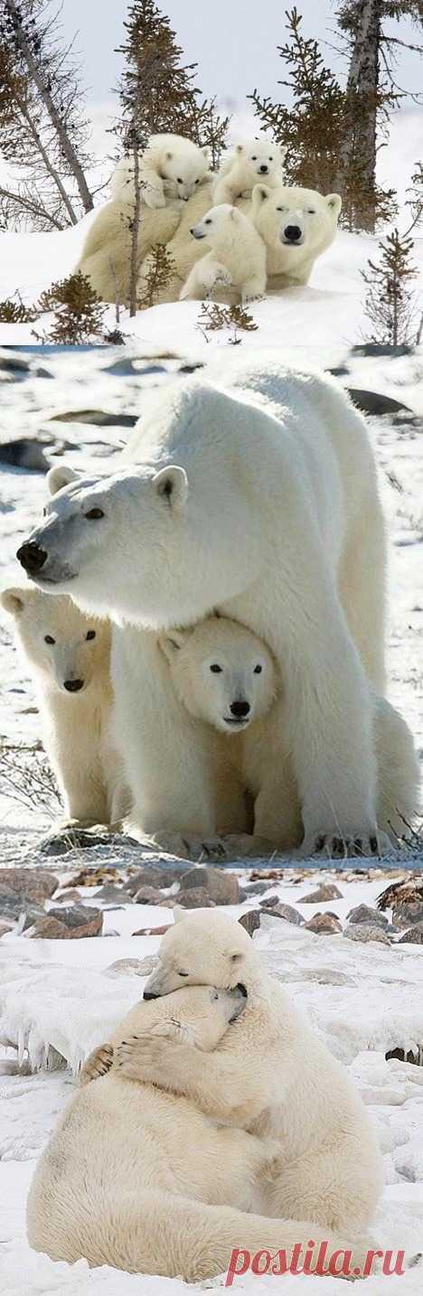 Интересные факты о полярных медведях для детей в статье по ссылке