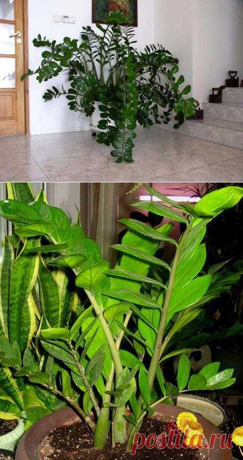 Замиокулькас - долларовое дерево.
