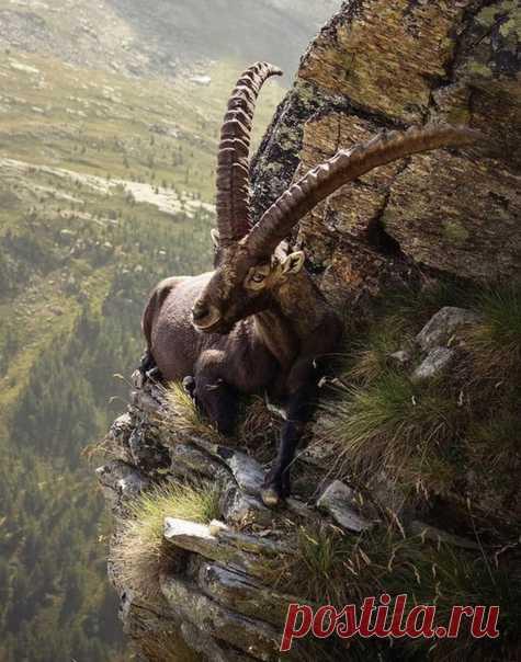Горный козёл на скалистом утёсе