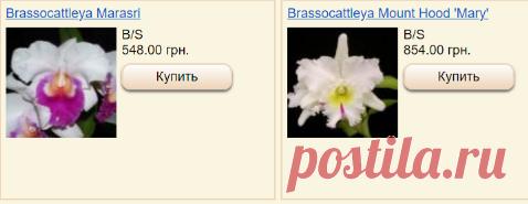 Каттлеи и лелии - магазин Орхидей