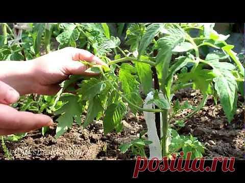 Пасынкование томатов .