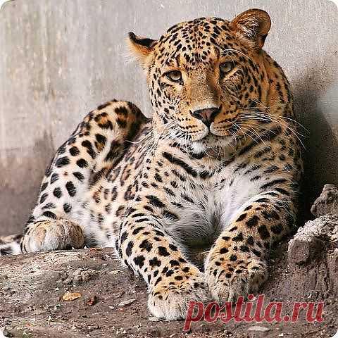 Леопард......))))))))