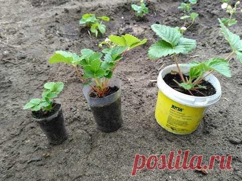 ¿Por qué las plantas de la fresa de las semillas no han crecido? La respuesta. - YouTube