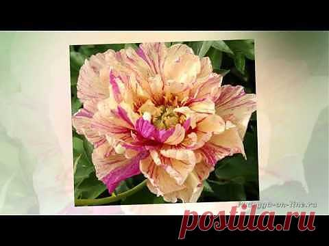 (+1) - Пион - король цветов. Красивое слайд шоу из фотографий | Хвастуны и хвастушки