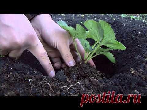 Как посадить правильно клубнику.