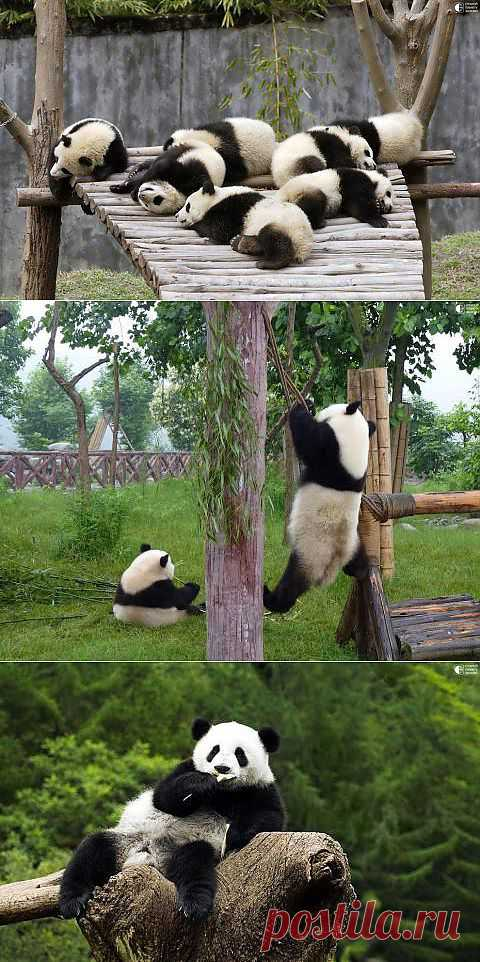 Эти забавные панды | Prikolisti.com