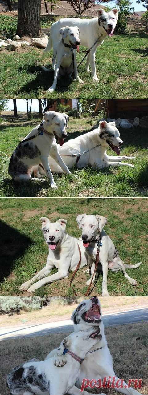 Собаки-инвалиды помогают друг другу | Уши, лапы, хвост