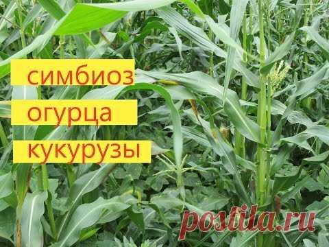 Como criar el pepino junto con el maíz. El método es comprobado sobre la experiencia. - YouTube