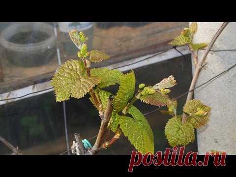 La defensa de la uva después de la soltura de las mirillas