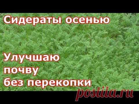 Sideraty en otoño. Mejoro el suelo sin perekopki - YouTube