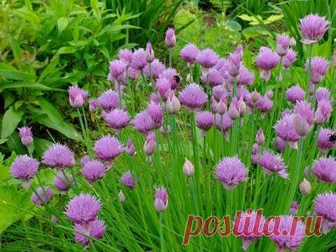 Лук. Шнитт лук - удивительное витаминное растение из семейства луковых