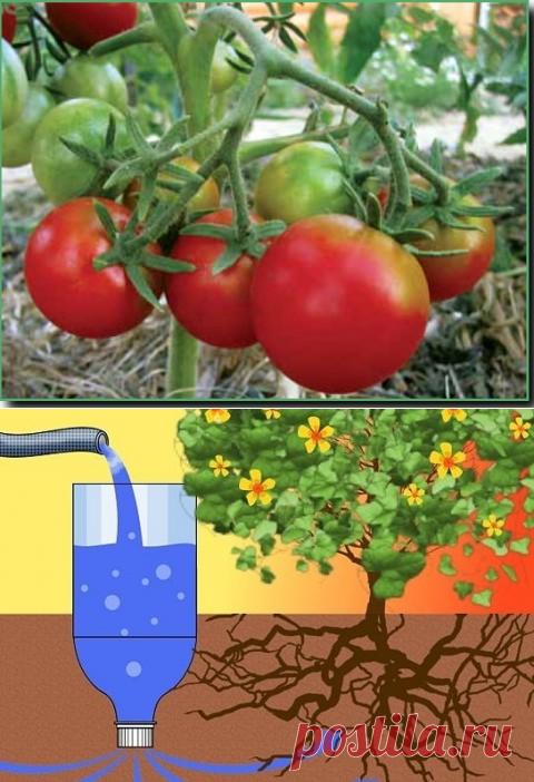зубов полив томатов через пластиковые бутылки фото бизнес