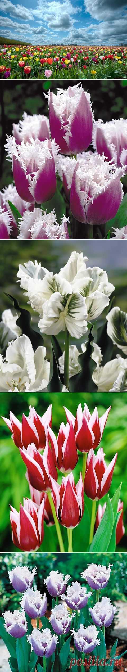 Готовимся к будущей весне - сажаем тюльпаны.