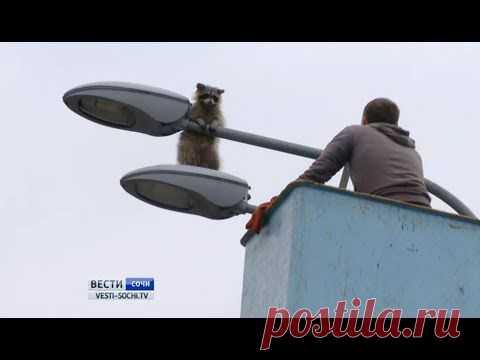 В Сочи спасли енота с фонарного столба #Видео