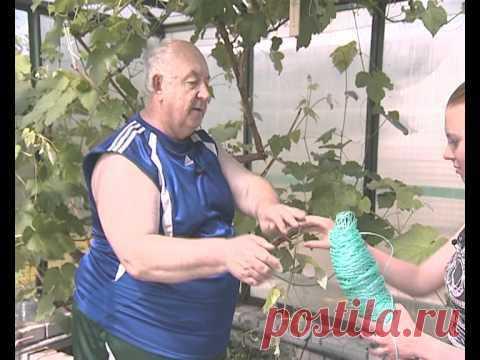 Выращивание винограда ч.2 - уДачные советы - YouTube