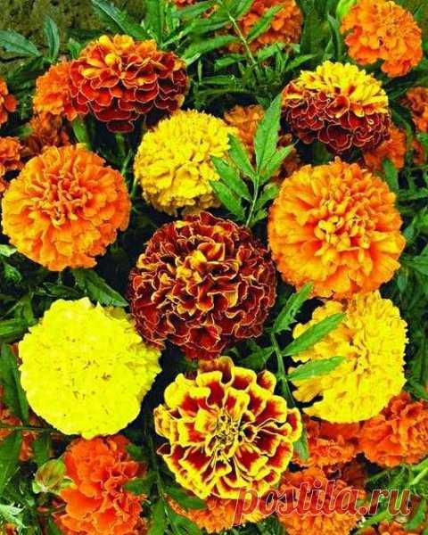 Не только красота, но и польза! Как эти цветы нам помогают в огороде? | Моя усадьба | Яндекс Дзен