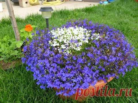 Лобелия.Выращивание рассады Посев семян лобелии. Часть 1 ( 29.01.16 )