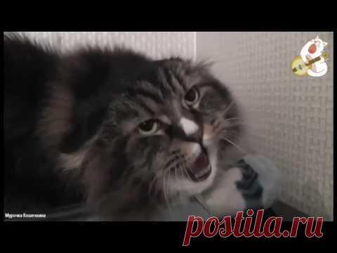 Поющий кот Миша. Поступила команда -