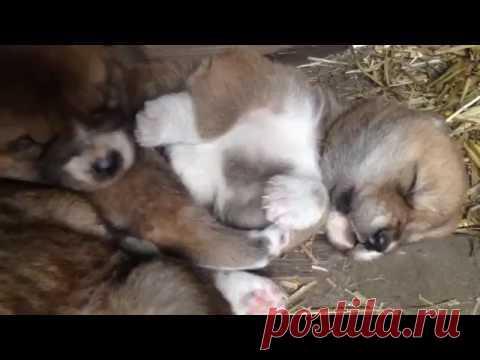 Los perritos encantadores del dingo \/ Grigory Man±v \/ Mi Planeta