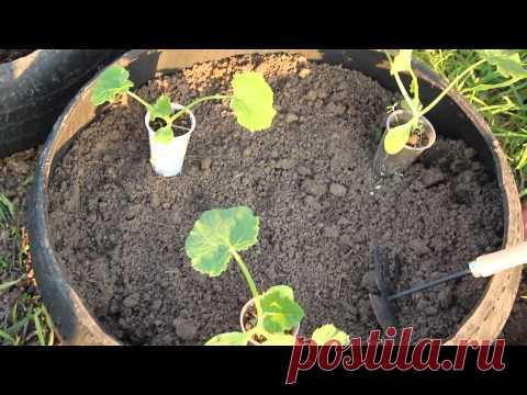 Landing of vegetable marrows. New way! - YouTube