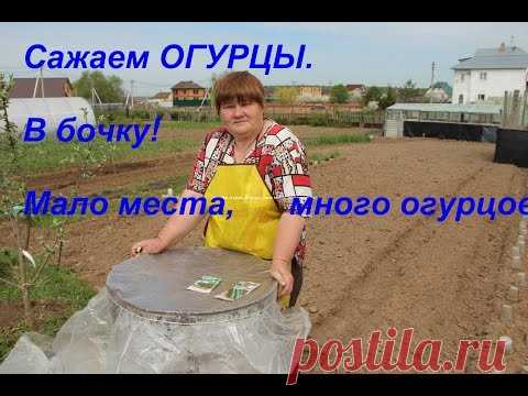 We plant cucumbers. In a barrel! It is not enough place, it is a lot of cucumbers! - YouTube
