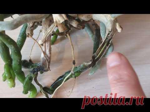 Правила выращивания орхидей в открытой системе в воде без просушки.
