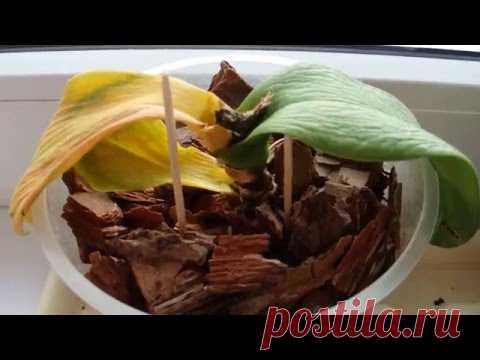 Reanimitsiya de las orquídeas \/ mi primero popytka\/parece yo de ellos ha rematado :(