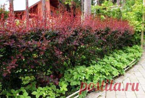 Живая изгородь из барбариса Барбарис широко известен если не способностью подчеркнуть ландшафтный дизайн сада, то, по крайней мере, любимыми с детства ароматными конфетами. И все же истинные ценители изысканного сада при упоминании этого растения чаще всего рисуют в своем воображении аккуратные кустики с оригинальными листьями, нежными мелкими цветами и яркими продолговатыми ягодами. Из всех возможных посадок живая изгородь из барбариса самая колючая. Благодаря ей, на участок не проникнут неп