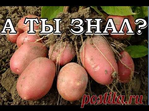 Secrets of cultivation of potatoes
