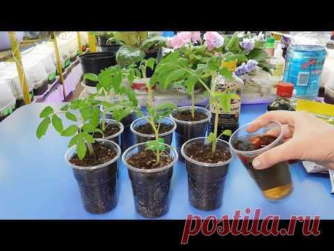 🍅🍅🍅ПРОЩЕ НЕ БЫВАЕТ ! ПИКИРОВКА РАССАДЫ ТОМАТОВ! Как помочь растениям перенести пересадку - YouTube