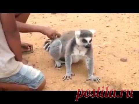 Лемур приказывает чесать / Видео / Моя Планета