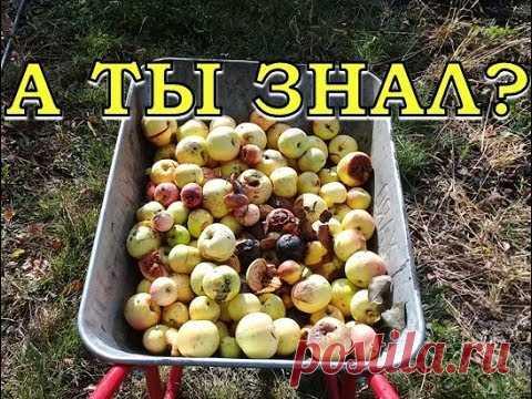 Куда девать опад яблок? УТИЛИЗАЦИЯ падалицы с пользой