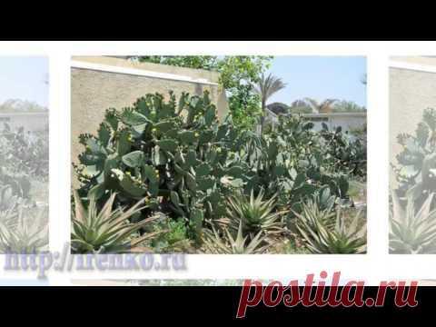 Кактусы в природе Израиля. (Cactuses)