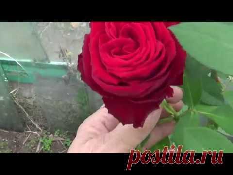 La experiencia otoñal ukoreniniya de los mangos rosados