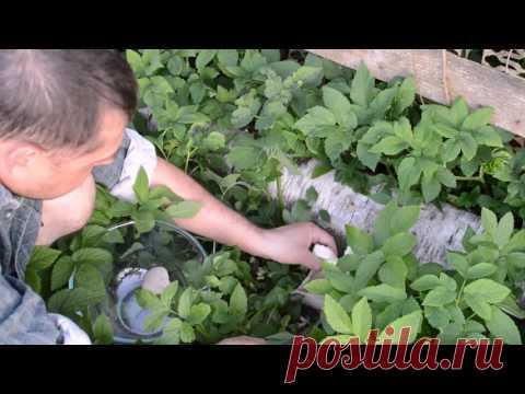 La cultivación veshenki sobre los tocones. El 1 de junio de 2016. - YouTube